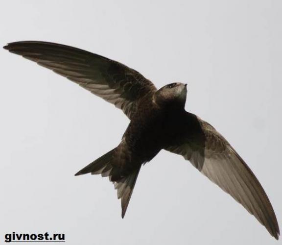 strizh-ptica-obraz-zhizni-i-sreda-obitaniya-strizhej-7.jpeg