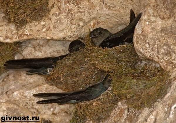 strizh-ptica-obraz-zhizni-i-sreda-obitaniya-strizhej-5.jpeg