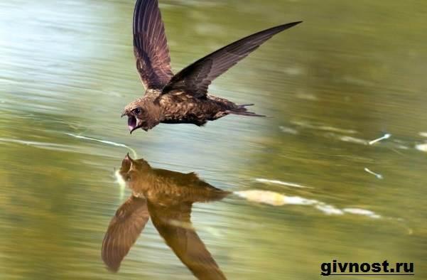 strizh-ptica-obraz-zhizni-i-sreda-obitaniya-strizhej-4.jpeg
