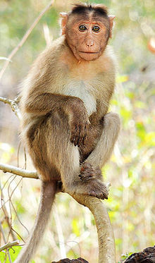 220px-Bonnet_macaque_%28Macaca_radiata%29_Photograph_By_Shantanu_Kuveskar.jpg