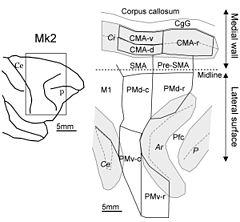 240px-Macaque_monkey%27s_premotor_areas.jpg