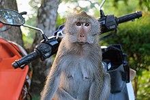 220px-Monkey_Kai_Bae.jpg