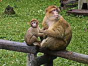 175px-Macaca_sylvanus.Mother_and_baby.jpg