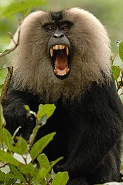 175px-Lion-tailed_macaque_canine.jpg
