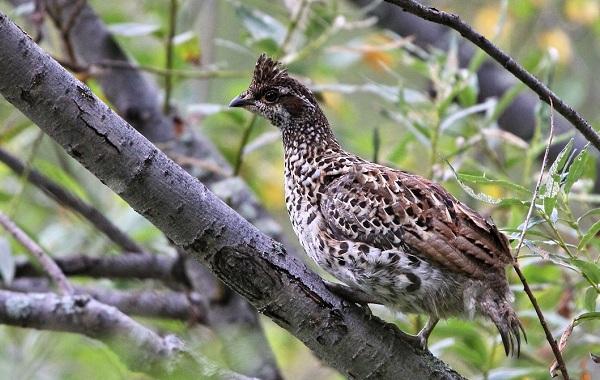 ryabchik-ptica-sreda-obitaniya-i-osobennosti-ryabchika.jpg