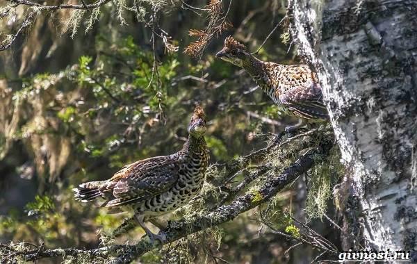 ryabchik-ptica-sreda-obitaniya-i-osobennosti-ryabchika-13.jpg