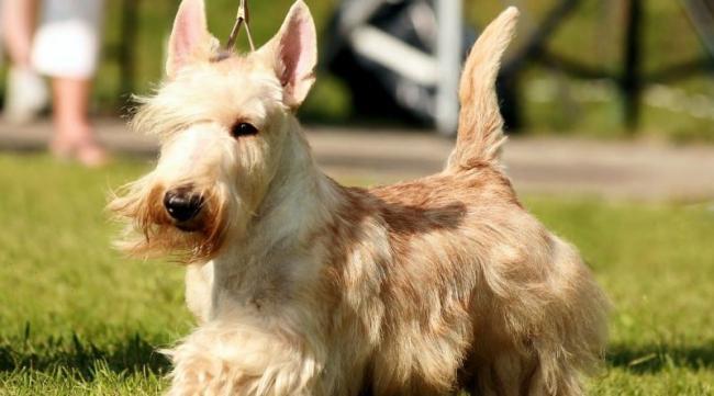 scottish-terrier11-800x445.jpg