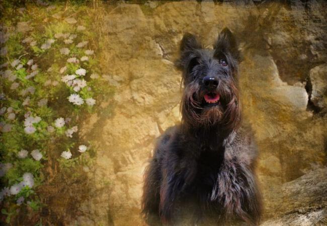 scottish-terrier8.jpg