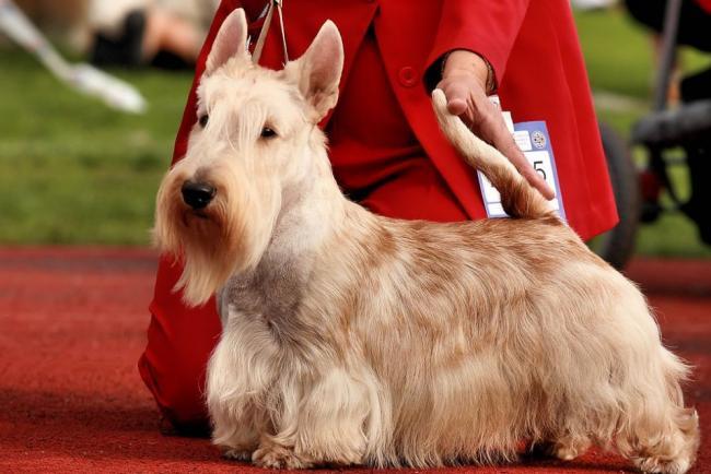 scottish-terrier2.jpg