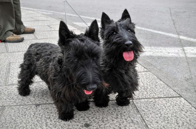 scottish-terrier3.jpg