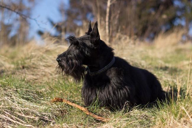 scottish-terrier1.jpg