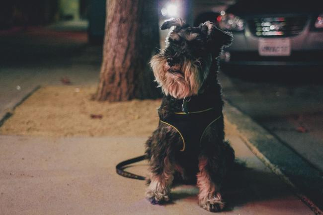 scottish-terrier6.jpg