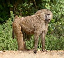 220px-Olive_baboon_Ngorongoro.jpg