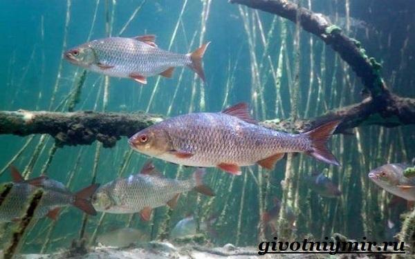 vobla-ryba-obraz-zhizni-i-sreda-obitaniya-ryby-vobly-12.jpg