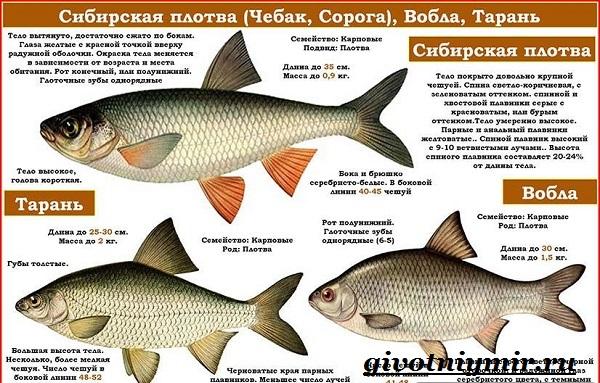 vobla-ryba-obraz-zhizni-i-sreda-obitaniya-ryby-vobly-5.jpg