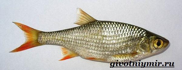vobla-ryba-obraz-zhizni-i-sreda-obitaniya-ryby-vobly-3.jpg