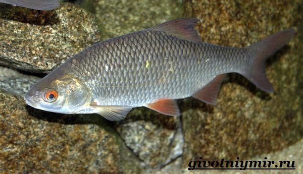 vobla-ryba-obraz-zhizni-i-sreda-obitaniya-ryby-vobly-2.jpg