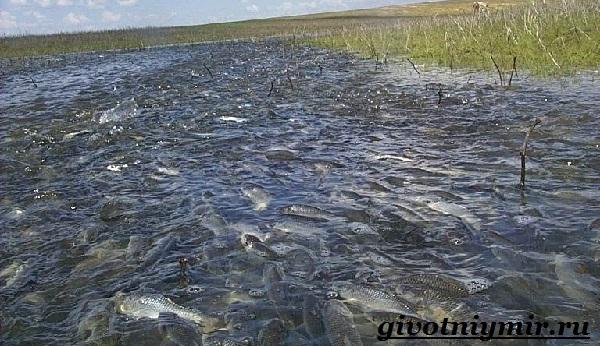vobla-ryba-obraz-zhizni-i-sreda-obitaniya-ryby-vobly-11.jpg