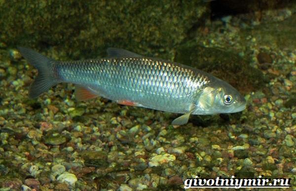 vobla-ryba-obraz-zhizni-i-sreda-obitaniya-ryby-vobly-9.jpg