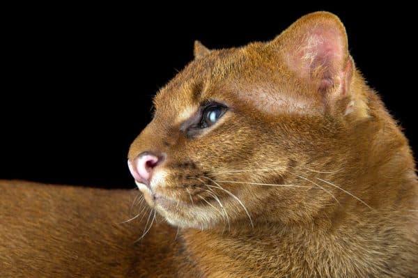 Puma-yagouaroundi-eyra-e1547049519713.jpg