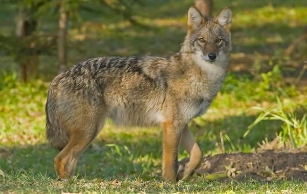 kojot-zhivotnoe-opisanie-osobennosti-vidy-obraz-zhizni-i-sreda-obitaniya-kojota-3.jpg
