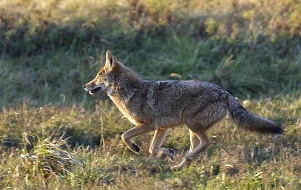 kojot-zhivotnoe-opisanie-osobennosti-vidy-obraz-zhizni-i-sreda-obitaniya-kojota-8.jpg