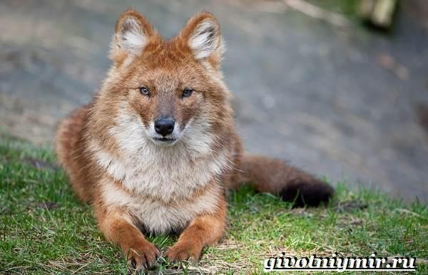 krasnyj-volk-obraz-zhizni-i-sreda-obitaniya-krasnogo-volka-1.jpg