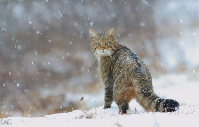 kot-lesnoi-koshki-dikii-zima-priroda-sneg-evropeiskii-dikii.jpg