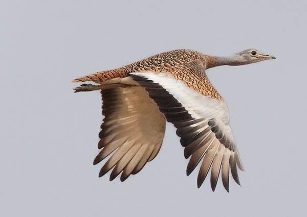 drofa-ptica-opisanie-osobennosti-vidy-obraz-zhizni-i-sreda-obitaniya-drofy-4.jpg