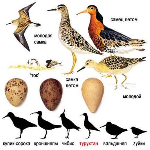 kulik-ptica-obraz-zhizni-i-sreda-obitaniya-kulika-5.jpg