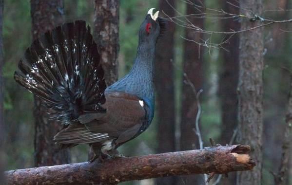 gluxar-ptica-obraz-zhizni-i-sreda-obitaniya-gluxarya-5.jpg