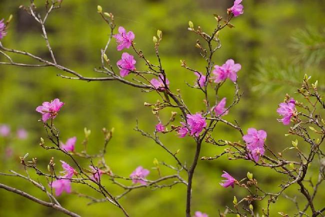 geografiya-102512-cvetenie-rododendrona-daurskogo.jpg