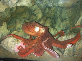 275px-Enteroctopus_dofleini_in_aquarium_rotated.jpg