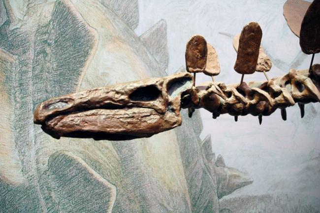 stegosaurus_scull-1024x681.jpg