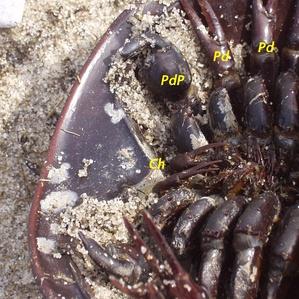 im299-480px-Horseshoe_crab_male_extremitates.jpg