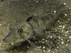 ledyanaya-ryba-opisanie-sostav-i-kalorijnost-polza-i-vred-1.jpg