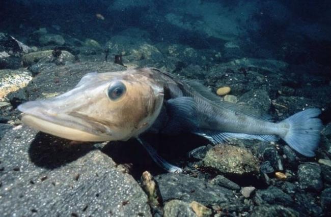ledyanaya-ryba-opisanie-sostav-i-kalorijnost-polza-i-vred-4.jpg