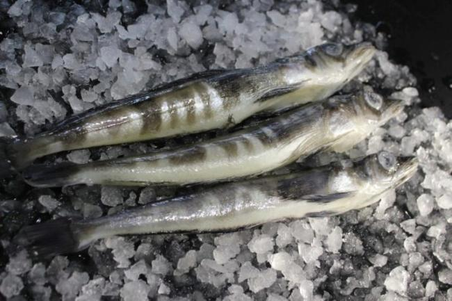 ledyanaya-ryba-opisanie-sostav-i-kalorijnost-polza-i-vred-3.jpg
