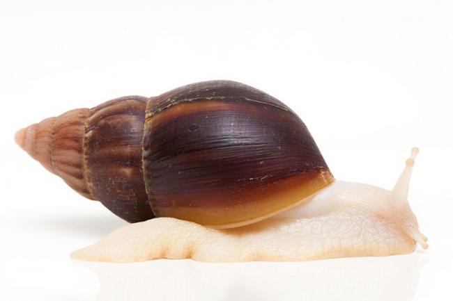 Achatina-Fulica-hamillei-Peti.jpg