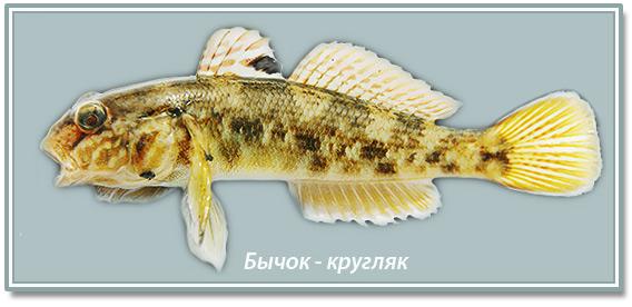 bychok_kruglyak.jpg
