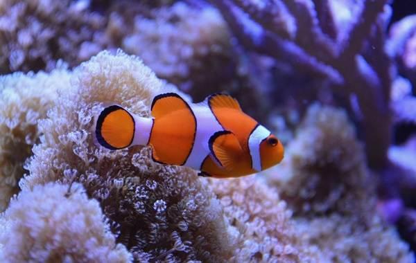ryba-kloun-opisanie-osobennosti-vidy-obraz-zhizni-i-sreda-obitaniya-ryby-kloun-3.jpg