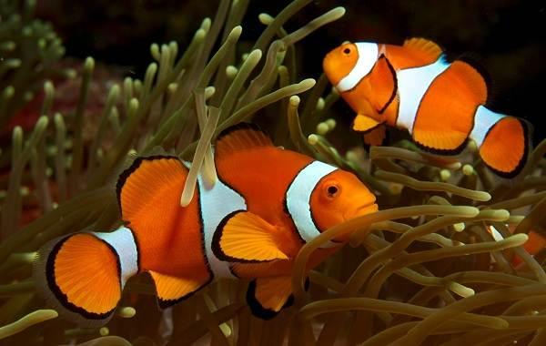 ryba-kloun-opisanie-osobennosti-vidy-obraz-zhizni-i-sreda-obitaniya-ryby-kloun-16.jpg