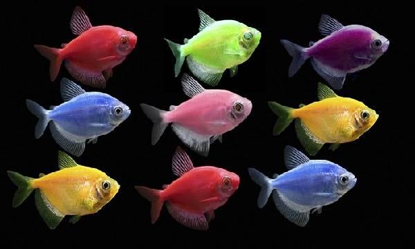 terneciya-karamelka-rybka-opisanie-osobennosti-vidy-i-uxod-za-terneciej-1.jpeg
