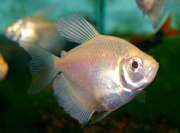 terneciya-karamelka-rybka-opisanie-osobennosti-vidy-i-uxod-za-terneciej-4.jpeg