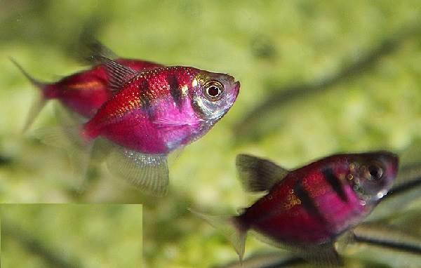 terneciya-karamelka-rybka-opisanie-osobennosti-vidy-i-uxod-za-terneciej-11.jpeg