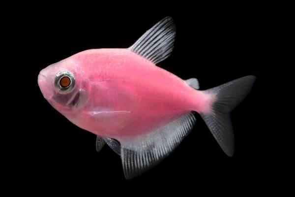 terneciya-karamelka-rybka-opisanie-osobennosti-vidy-i-uxod-za-terneciej-7.jpeg
