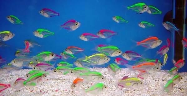 terneciya-karamelka-rybka-opisanie-osobennosti-vidy-i-uxod-za-terneciej-2.jpeg