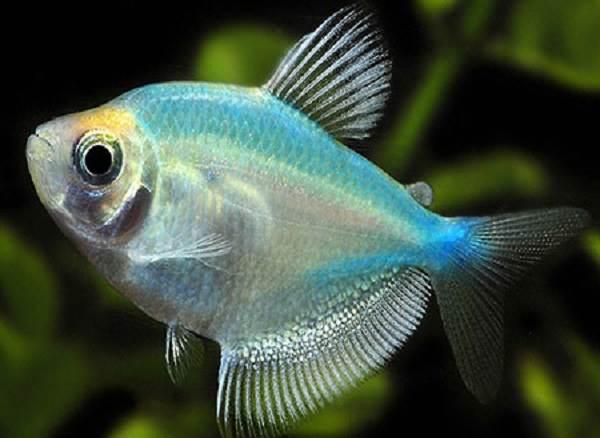 terneciya-karamelka-rybka-opisanie-osobennosti-vidy-i-uxod-za-terneciej-10.jpeg