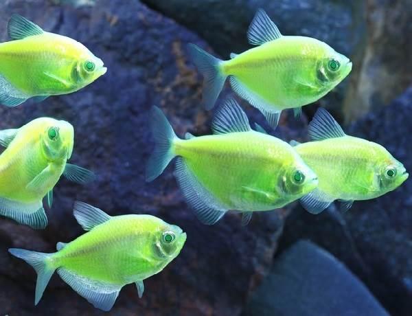 terneciya-karamelka-rybka-opisanie-osobennosti-vidy-i-uxod-za-terneciej-5.jpeg