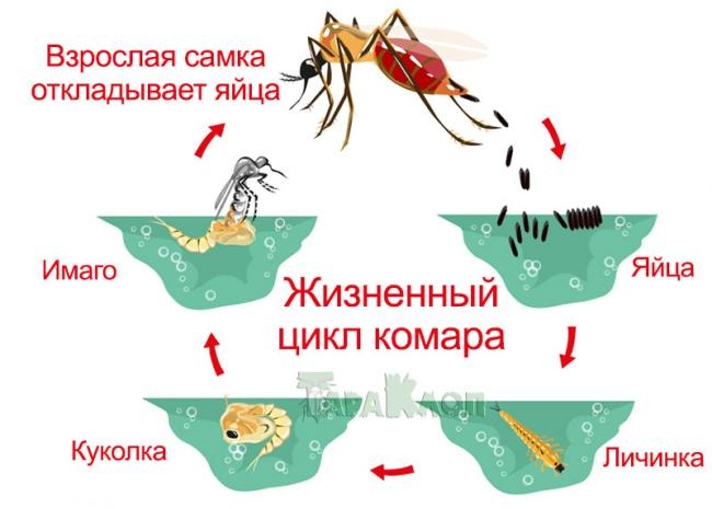 komar-zhiznennyi-cikl.jpg